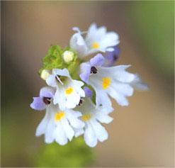Eyebright flower