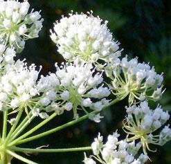 Conium maculatum flower